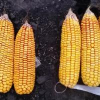 Кукуруза СИ Феномен гибрид описание