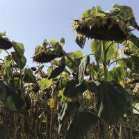 Семена Подсолнечника Фолк от Агроэксперт-Трейд