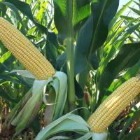 кукуруза гибрид СИ ФОТОН фото