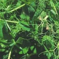 На фото горох зелений чеської селекції Гарде