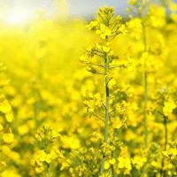 Семена рапса Герди (Заатбау) купить в Украине, описание гибрида, отзывы, цена, доставка