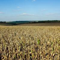 Кукурудза гібрид Гармоніум насіння