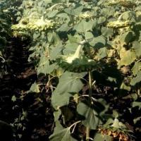 Семена Подсолнечника Гаярд от Агроэксперт-Трейд
