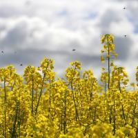 Семена рапса Атора (Лембке) купить в Украине, описание гибрида, отзывы, цена, доставка