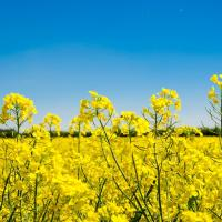 Насіння ріпаку Кларус (Заатбау) купити в Україні, опис гібрида, відгуки, ціна, доставка