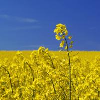 Семена рапса Куга (Лембке) купить в Украине, описание гибрида, отзывы, цена, доставка
