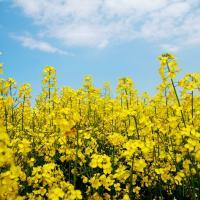 Насіння ріпаку Мемфіс (Заатбау) купити в Україні, опис гібрида, відгуки, ціна, доставка