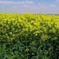 Семена рапса Рекорди (Заатбау) купить в Украине, описание гибрида, отзывы, цена, доставка