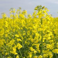 Семена рапса СИ Савео (Сингента) купить в Украине, описание гибрида, отзывы, цена, доставка