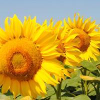 Насіння соняшнику Амато купити