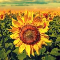 Семена Подсолнечника ЕС Аргентик от Агроэксперт-Трейд