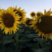 Насіння соняшника ЕС Армоника від Агроэксперт-Трейд