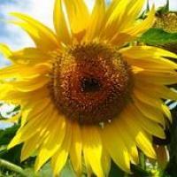Насіння соняшника ЕС Бостон СУ від Агроэксперт-Трейд
