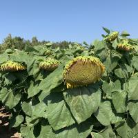 Насіння соняшника Форвард від Агроэксперт-Трейд