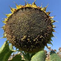 Семена Подсолнечника Гранд Адмирал от Агроэксперт-Трейд