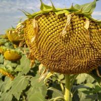 Насіння соняшника Лакарен від Агроэксперт-Трейд