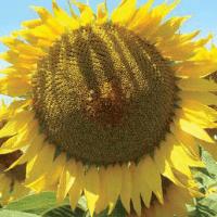Семена Подсолнечника ЛГ 50455 КЛП от Агроэксперт-Трейд
