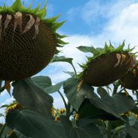 Семена Подсолнечника ЛГ 50480 от Агроэксперт-Трейд