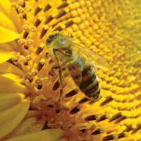 Семена Подсолнечника ЛГ 50520 СХ от Агроэксперт-Трейд