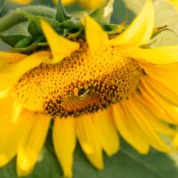 Семена Подсолнечника ЛГ 50585 от Агроэксперт-Трейд