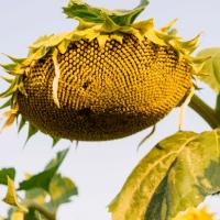 Насіння соняшника ЛГ 50609 СХ від Агроэксперт-Трейд