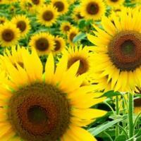 Насіння соняшнику ЛГ 5580 купити