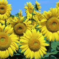 Насіння соняшнику ЛГ 5582 купити
