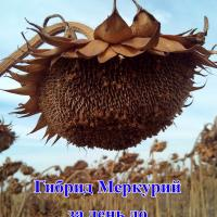 Посівний соняшник соняшник насіння гібрид Меркурій опис характеристика ціна купити в Україні