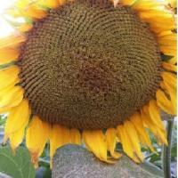 Насіння соняшнику Монарх купити