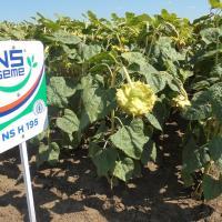 Подсолнечник гибрид НС Адмирал (НС Х 195) купить семена в Украине
