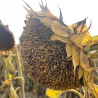 Семена Подсолнечника Одиссей ИМИ от Агроэксперт-Трейд