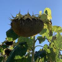 Насіння соняшника Рембо від Агроэксперт-Трейд