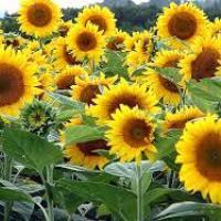 Семена подсолнечника Тунка купить