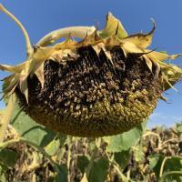 Семена Подсолнечника ЯСОН от Агроэксперт-Трейд