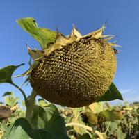 Семена Подсолнечника ЗЛАТСОН от Агроэксперт-Трейд