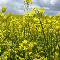 Семена рапса Гиколор (Заатбау) купить в Украине, описание гибрида, отзывы, цена, доставка