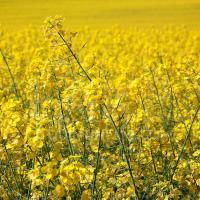 Семена рапса Харди (Заатбау) купить в Украине, описание гибрида, отзывы, цена, доставка