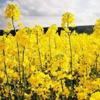 Семена рапса Хенри (Заатбау) купить в Украине, описание гибрида, отзывы, цена, доставка