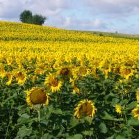 Семена Подсолнечника Хорол от Агроэксперт-Трейд
