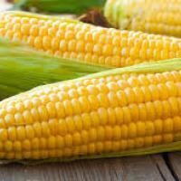 кукуруза гибрид СИ Энигма купить семена в Украине