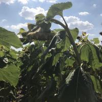 Семена подсолнечника ЛГ 5665 М купить
