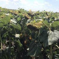 Семена подсолнечника ЛГ 5638 купить