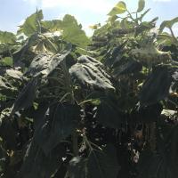 Семена подсолнечника ЛГ 5555 КЛП купить