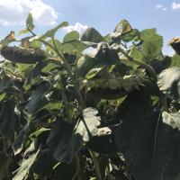 Семена подсолнечника ЛГ 5543 КЛ купить