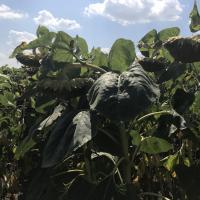 Семена подсолнечника ЛГ 5452 НО КЛ купить
