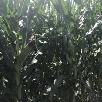 Насіння кукурудзи ЛГ 31377 купити насіння