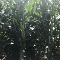 Насіння кукурудзи ЛГ 3285 купити насіння