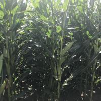 Семена кукурузы ЛГ 3258 купить семена