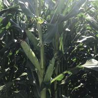 Семена кукурузы ЛГ 30215 купить семена