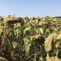 Гібрид соняшнику Таленто купити в Україні